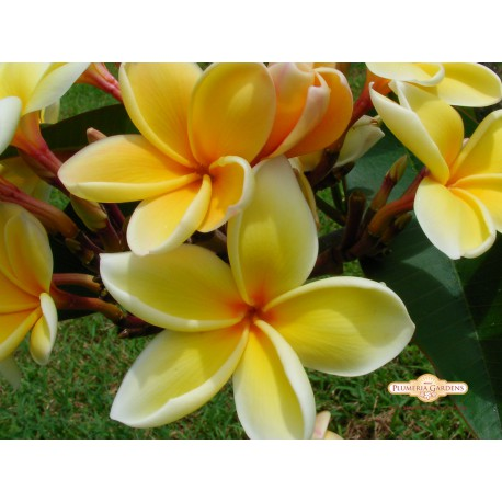 Paul Weissich Plumeria Rooted